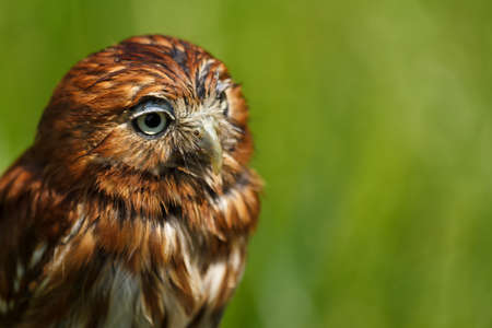 East Brazilian pygmy owl Stock Photo