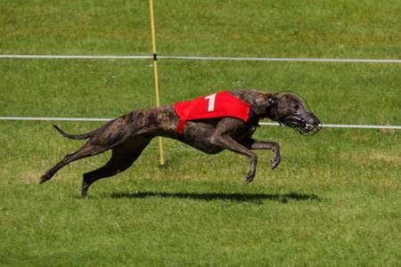 Dark colored greyhound racing