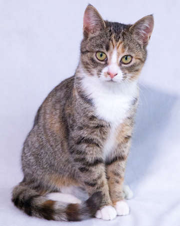 A cute Mackerel tabby colored kitten isolated on a white background.