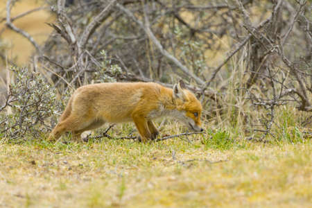 A cute young red fox cub, vulpes vulpes, is exploring the world not far outside it's den