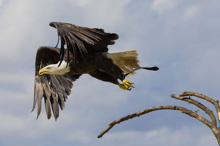 A bald eagle is flying off from a branch