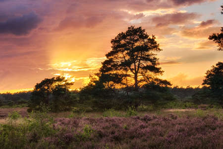 Rain clouds obscuring the setting sun over a field in the forest with purple heather Standard-Bild