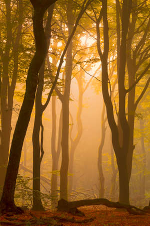 A warm morning sunrise between the trees of a fog covered forest. The photo is taken in the Speulderbos in the Netherlands, well known for the dancing trees. Standard-Bild