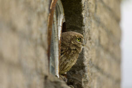 A close up of a little owl (Athene noctua) looking at you from a broken window. Standard-Bild