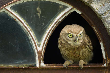 A close up of a little owl (Athene noctua) perched in the broken window of an old barn Standard-Bild