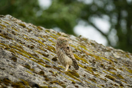 A little owl (Athene noctua) looking at you from heavily weathered asbestos cement corrugated roofing. What is wisdom?