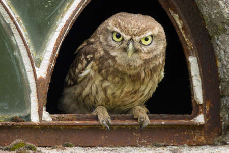 A close up of a little owl (Athene noctua) looking at you from the broken window of an old barn. The pupil of one eye is bigger then the other.
