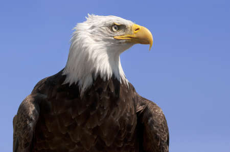 American bald eagle against a blue sky photo
