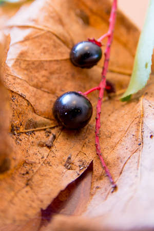 berries on a branch during autumn photo
