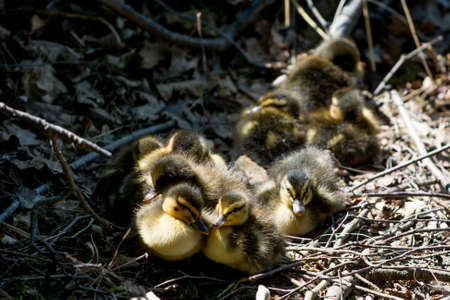baby ducklings photo
