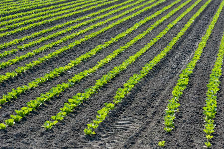 rows of young crops photo