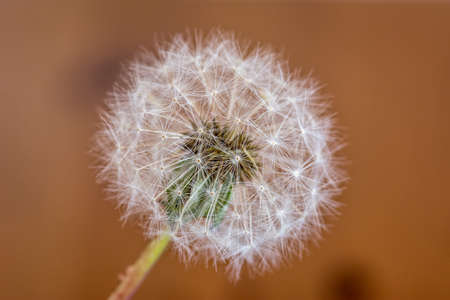blowball: single isolated dandelion blowball Stock Photo