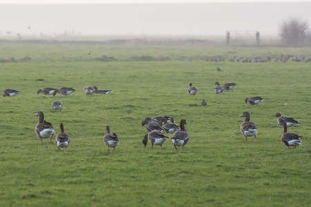 geese in a grassy field photo