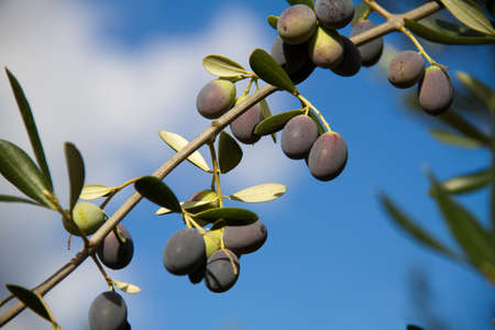 olive on tree with leaves Imagens