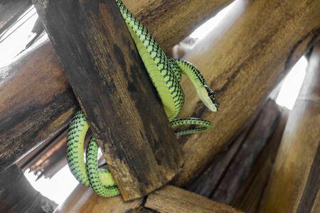 Snake in the bamboo roof on Koh Phangan, Koh Pha Ngan, Thailand. Paradise Tree Snake. Stok Fotoğraf