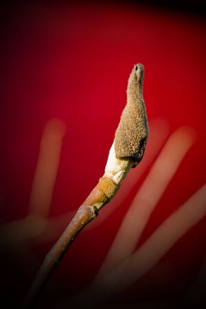 Red Background and a tulip tree bud.