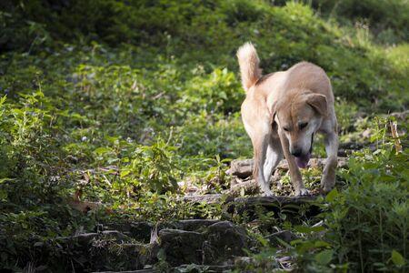 Stray dog in the tropical landscape of Sarangkot, Pokhara, Nepal. Foto de archivo - 133442075