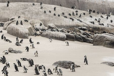 Many penguins at Boulders Beach in Simon's Town, Cape Town, South Africa. Colony of Spectacled Penguins. 스톡 콘텐츠