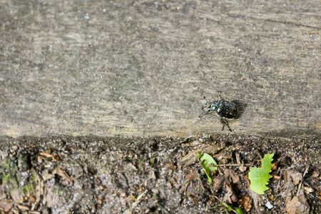 Metallic green shiny beetle streaked in the German Forest. Stock Photo
