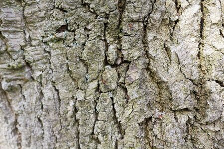Texture of a bark from an oak tree with red forest ants.