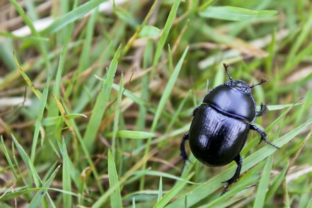 Dung beetle in a meadow in northern Germany.