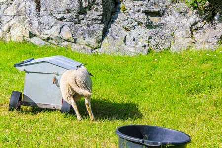 Sheep rams into feeding station in Hemsedal, Viken, Norway.