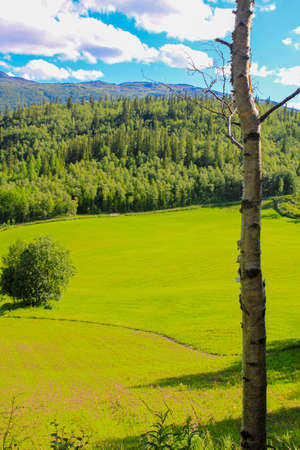White birch in front of Norwegian landscape with trees firs mountains and rocks. Norway Nature.