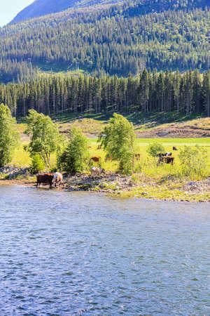 Cows drinking water from beautiful river Hemsila in Hemsedal, Viken, Buskerud, Norway.