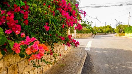 Pink triplet flowers on the Balearic island Mallorca Spain.