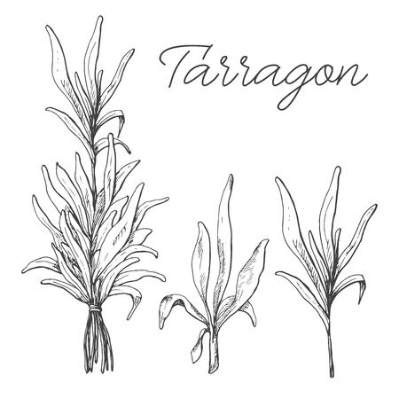 R? Cznie rysowane tarragon wyizolowanych na bia? Ym tle. Ilustracji wektorowych stylu szkicu.