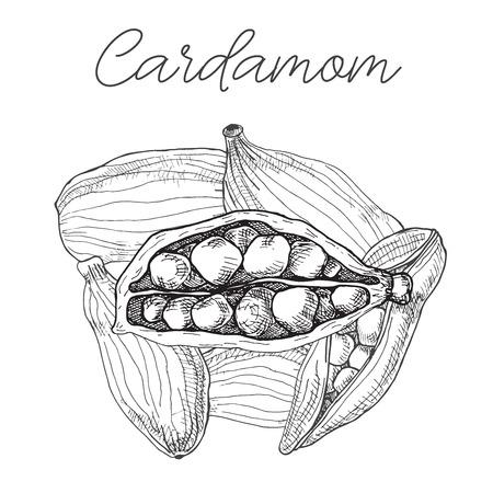 Cardamom isolated on white background. Hand drawn vector illustration. Illustration