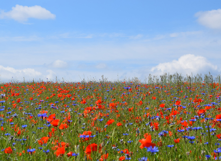 Wildflower meadow with red poppy and blue cornflowers.