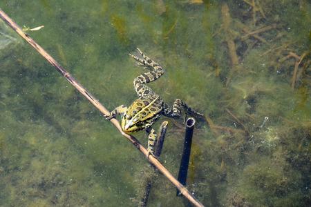 Green frog swimming in water with algae. Banco de Imagens