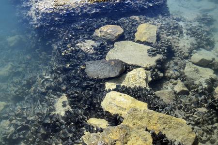 Blue mussel in Lake Butrint. Bivalvia in Mediterranean Sea. Buthrotum, Albania. Stock Photo