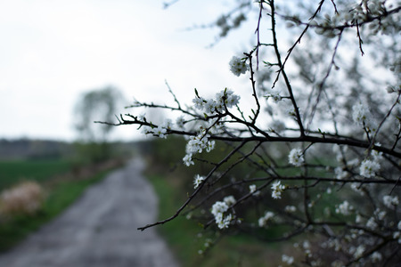 Prunus spinosa blackthorn. Sloe white flowers close up photography with dirty road background.