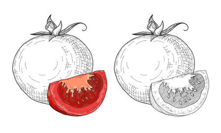 Sketch tomatoes. Tomatoes isolated on white background. Vector