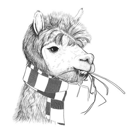 Portrait of alpacas, llamas. Lama in a scarf. Sketch
