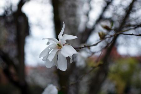 magnolia flowers closeup magnolia à soulangeana saucer magnolia