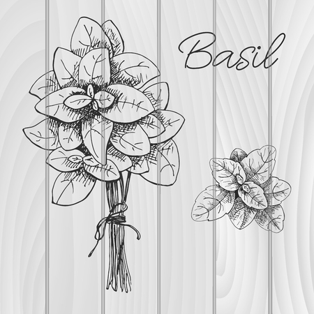 Hand drawn bunch of basil. Fresh basil. Vector illustration of a sketch style.  イラスト・ベクター素材