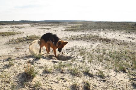 Young German Shepherd on the sand. Bledow Desert, Silesia, Poland.