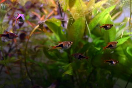 Harlequin rasbora (Trigonostigma heteromorpha), small aquarium fish. Stock Photo