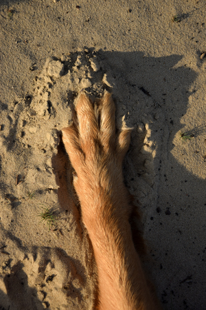 Dog foot on sand. Dog footprint.