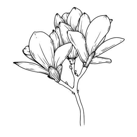 Fleurs de magnolia. Croquis réaliste d'une fleur épanouie. Illustration vectorielle dans le style de croquis. Vecteurs