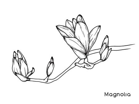 Magnolienblüten. Realistische Skizze einer blühenden Blume. Vektorillustration im Skizzenstil. Vektorgrafik