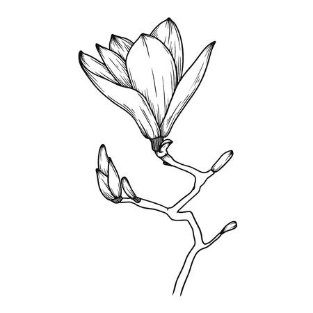 Fleurs de magnolia. Croquis réaliste d'une fleur épanouie. Illustration vectorielle dans le style de croquis.