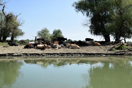 Cow herd resting on the river bank. Danube Delta, Romania.