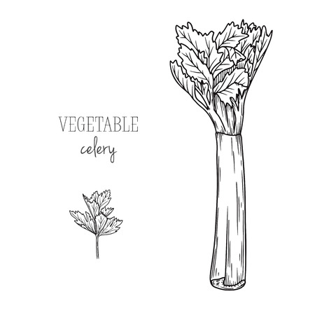 Celery isolated on white background. Vector illustration in sketch style. Illusztráció
