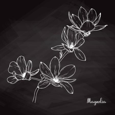 Croquis réaliste de magnolia sur fond de craie. Illustration vectorielle