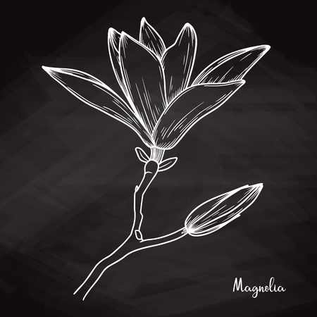 Realistic sketch of magnolia on chalk background. Vector illustration