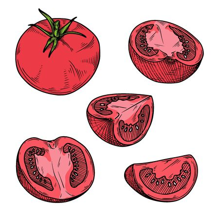 Set of different tomatoes isolated on a white background. Color sketch. Vector illustration